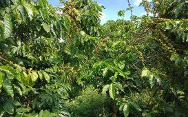Bán vườn cà phê đẹp ở Đại Lào - Bảo Lộc
